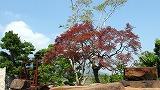 160-古木の枝垂れ紅葉