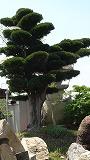 160-大木の槇