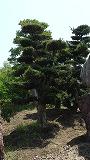 160-羅漢槇枝接ぎ物